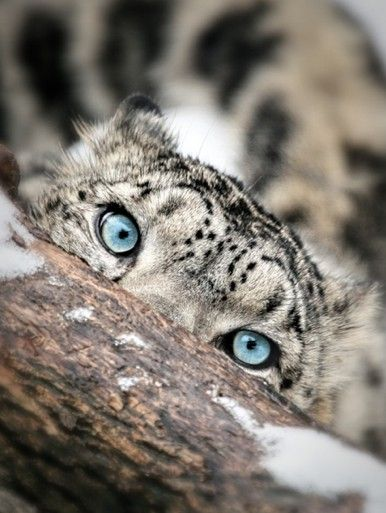 snow leopard - I see you...