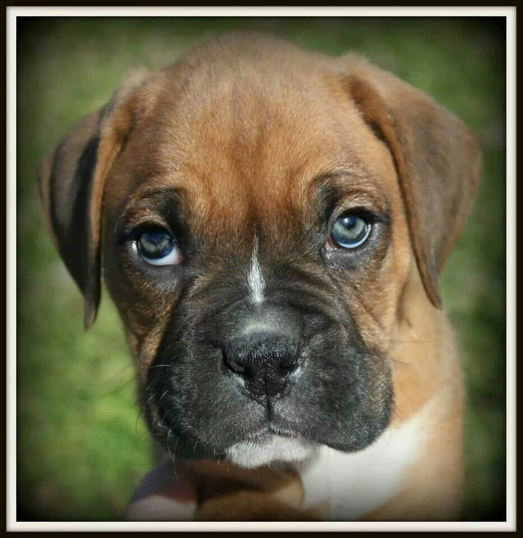 Boxer pup with green eyes!