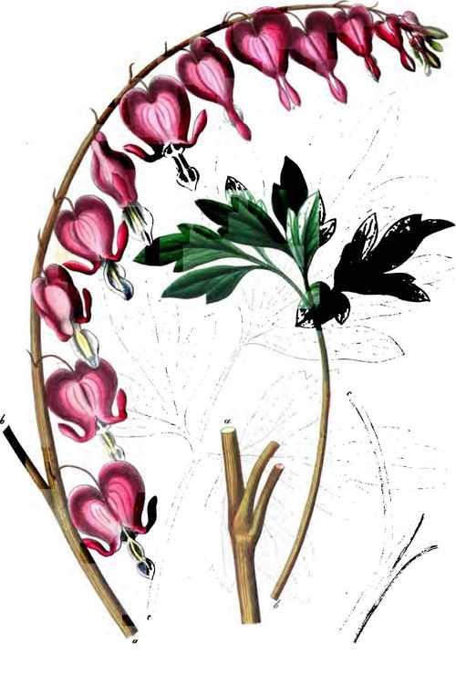 bleeding heart | Garden | Pinterest | Heart and Bleeding ...