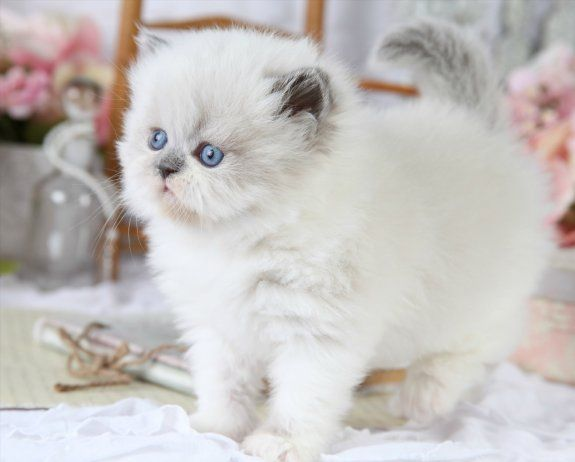 Blue Point Himalayan Cats | Furrbert - Blue bicolor Point Himalayan Kitten for Sale | Superior ...