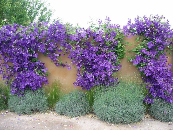 De tuinplant van de maand april 2017 is: de Clematis. Een prachtige klimplant voor tegen een muurtje, schuur, schutting of pergola. Lees hier meer!