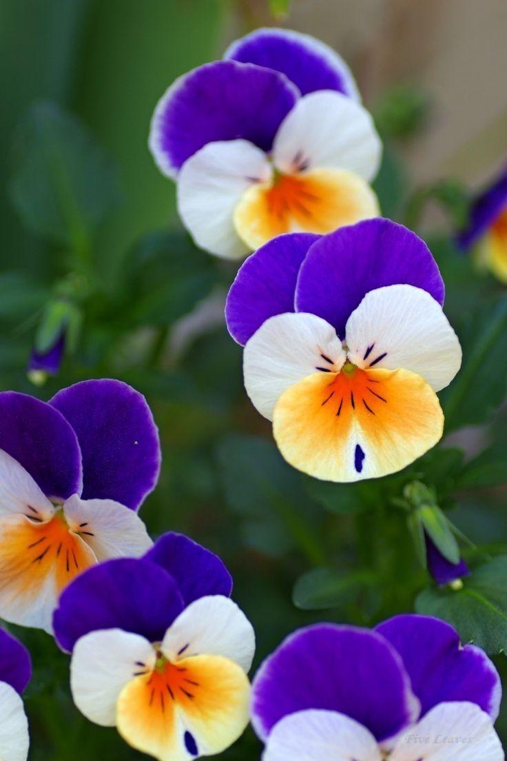 Hod Herbs Flowers Pansy Bilder Exotische Blumen Wunderschone Blumen Blumen Pflanzen