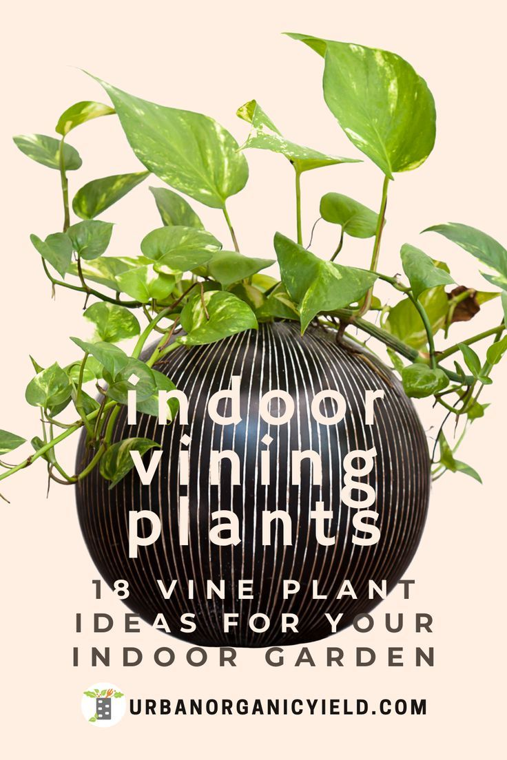 Best And Easy Indoor Vine Plant Ideas In 2020 Indoor Vines Vine House Plants Easy House Plants