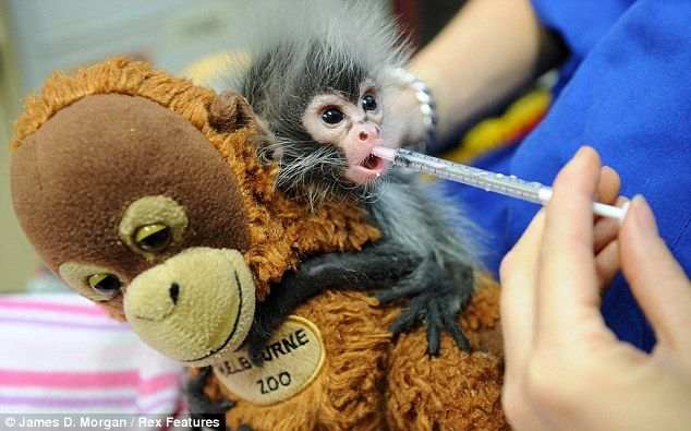 Baby spider monkey Estela, rejected by mother at birth, clings on ...
