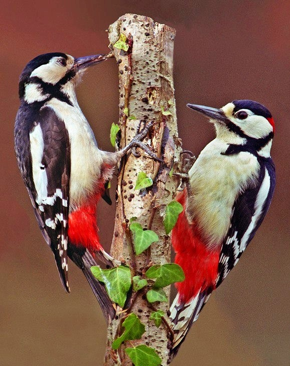 A Pair of Great Spotted Woodpeckers (Dendrocopos major)