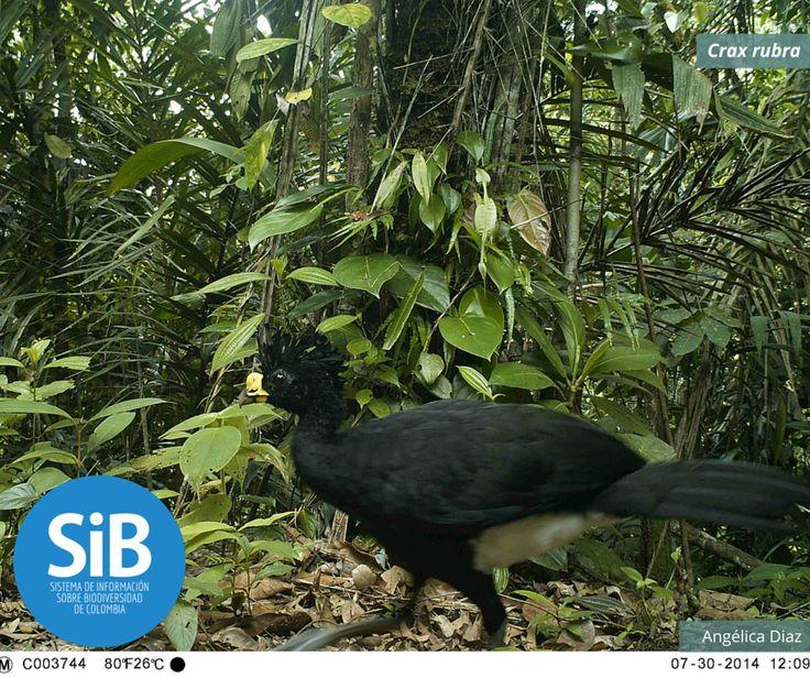 'Crax rubra', conocido como el pavo norteño, fotografiado en su hábitat natural por medio de cámaras trampa. Revisa nuestro catálogo de especies http://www.biodiversidad.co/