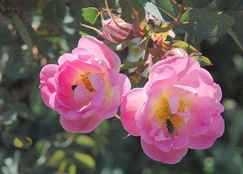 Rosa glauca 'Nova'