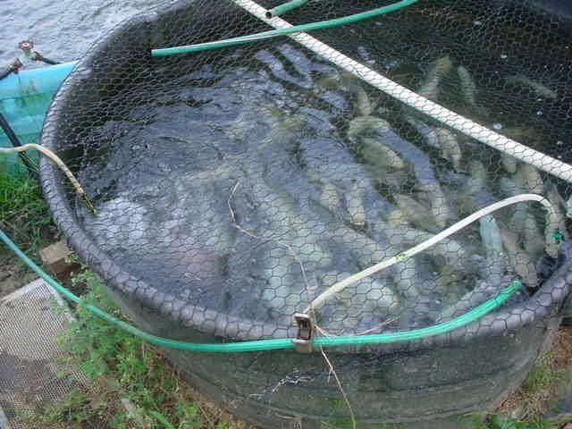 Tilapia and Catfish farming