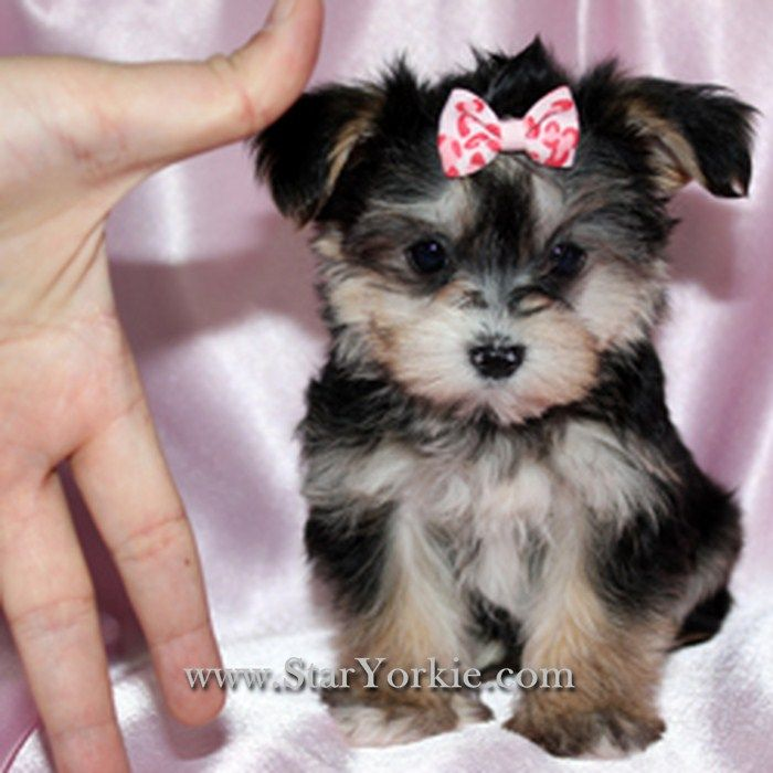 Yorkie Maltese Mix Puppies Critters Puppies Dogs Yorkie