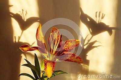 Orange lily flower,  Lilium Pensylvanicum