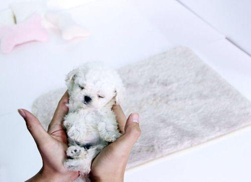 Melt My Heart! Teacup Poodle