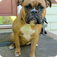 Boxer/English Bulldog Mix Dog for adoption in Lawrenceville, Georgia - Betty