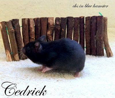 Cedrick chs in blue hamster