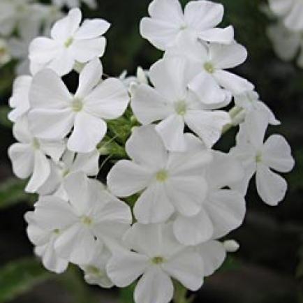 Phlox amplifolia 'David' - Großblatt-Phlox