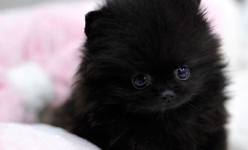 teacup pomeranian puppy | Cute | Pinterest | Cats, We and ...