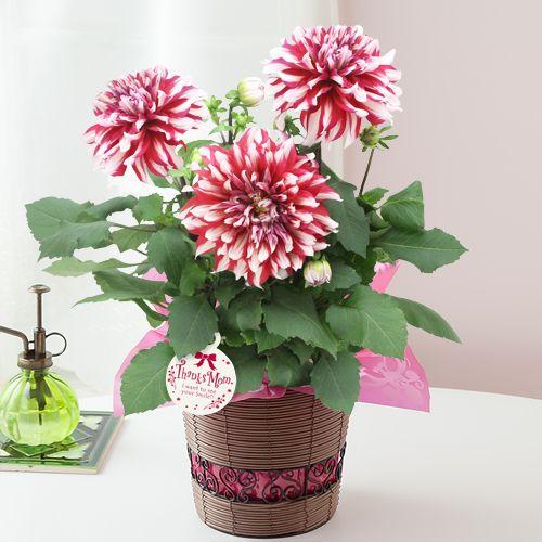 母の日 鉢植え「紅白の大輪ダリア~母の日を祝う感謝を込めて~」