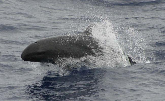 82 False Killer Whales Dead In Massive Stranding Off Everglades National Park   Care2 Causes