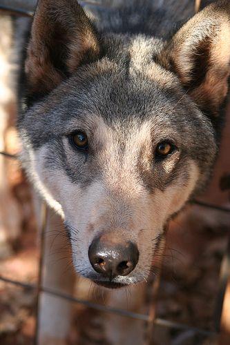 Wolamute Malamute X Wolf Hybrid Czechoslovakian