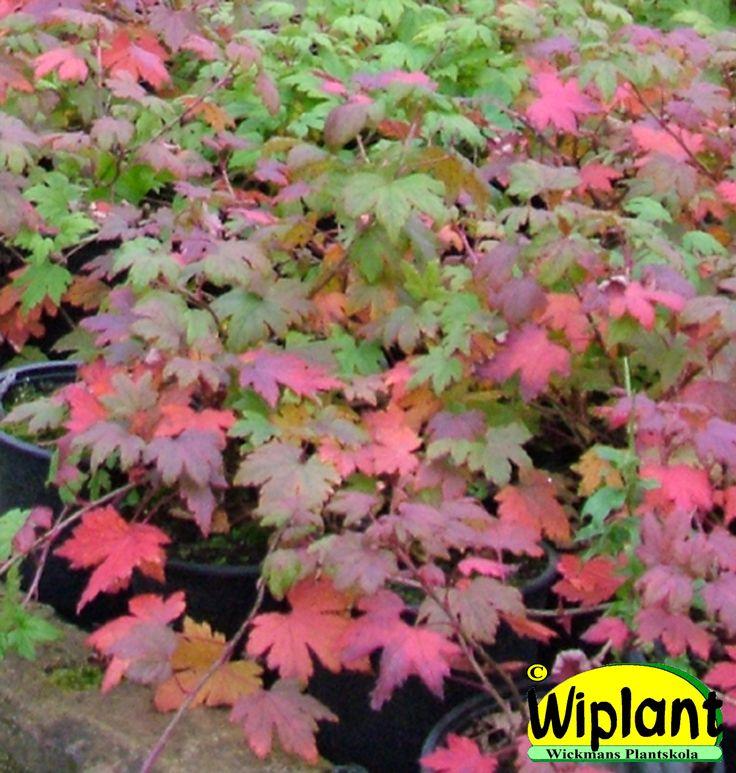 Ribes glandulosum, Dvärgrips. FinE-sort. Marktäckande, bra höstfärg. Höjd: 0,3-0,5 m.