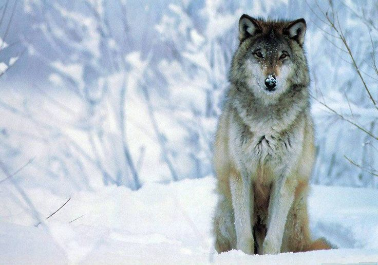 Wolf Free HD Wallpapers and Backgrounds Download (29)  http://www.urdunewtrend.com/hd-wallpapers/animal/wolf/wolf-free-hd-wallpapers-and-backgrounds-download-29/ wolf 10] 10K 12 rabi ul awal 12 Rabi ul Awal HD Wallpapers 12 Rabi ul Awwal Celebration 3D 12 Rabi ul Awwal Images Pictures HD Wallpapers 12 Rabi ul Awwal Pictures HD Wallpapers 12 Rabi ul Awwal Wallpapers Images HD Pictures 19201080 12 Rabi ul Awwal Desktop HD Backgrounds. One HD Wallpapers You Provided Best Collection Of Images 22…