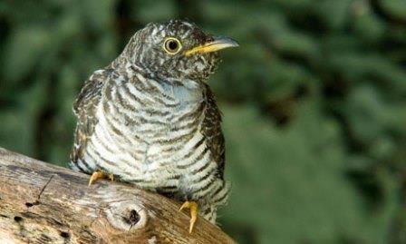 young cuckoo