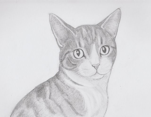 Benny, Cat Cuddle Cafe, Brisbane, quick drawing project, (not so quick drawing), pencil on paper, Jenny Jump, 2016, art is a form of magic