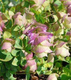 Origanum rotundifolium 'Kent Beauty' - Hopfen-Dost