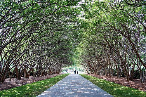 Crepe Myrtle Alley Dallas Arboretum And Botanical Garden Dallas Texas Dallas Arboretum