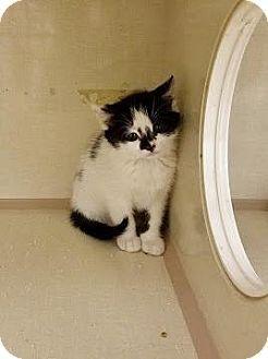 12/31/16 SL~~~Westbury, NY - Domestic Mediumhair. Meet Pippin, a kitten for adoption. http://www.adoptapet.com/pet/17090591-westbury-new-york-kitten. Bonded with her sister Sam.