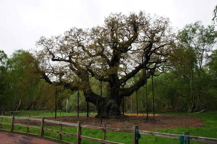 Major Oak - Nottinghamshire