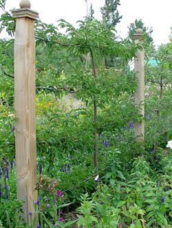 Espalier -- and the finials on the posts