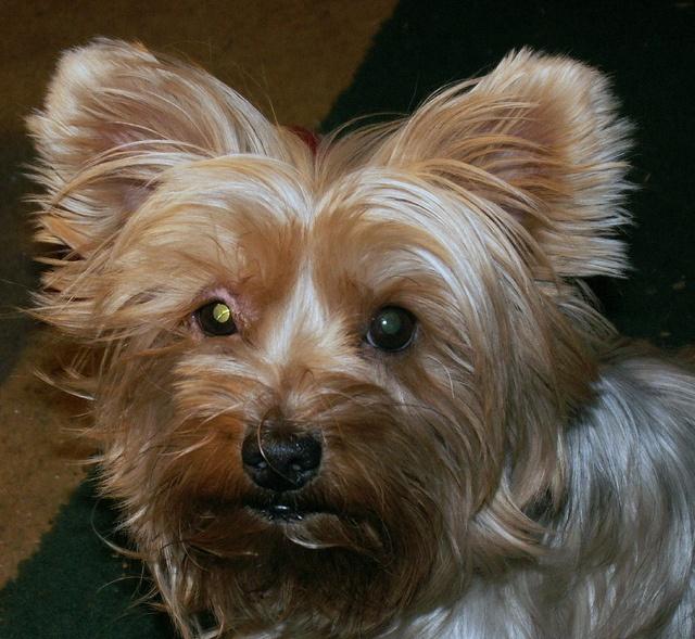 Yorkie, Jazzie eyelid infection? by dagutzyone's via Flickr