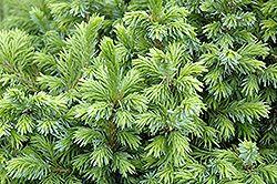 5 x 5 in 10 years  dwarf serbian spruce  @english gardens