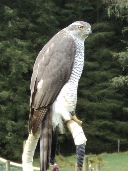 "Northern Goshawk - the largest of the ""True Hawks,"" or Accipiters, the Northern Goshawk is an apex predator of forests"