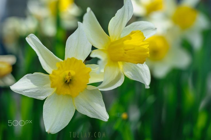 Two daffodils - null