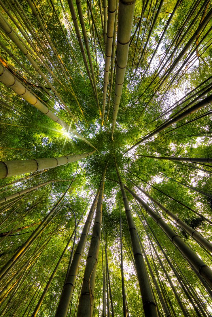 Bamboo Forest - null