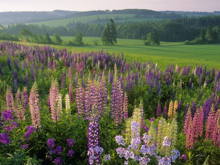 Prince Edward IslandGreen Gables, Favorite Places, Canada, Beautiful Places, Prince Edward Islands, Gardens, Lupin, Pei, Flower