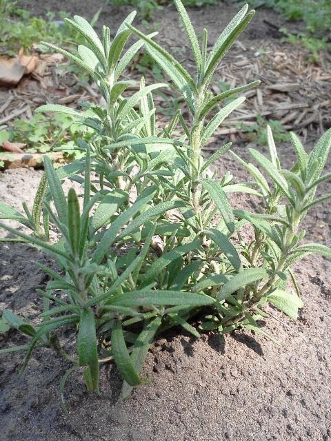 Rosemary 2012