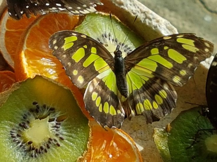 https://flic.kr/p/RHgwGy | Butterfly and fruit
