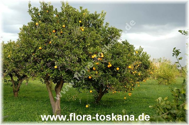 citrus_sinensis_plantage_3_-_151207.jpg (852×567)