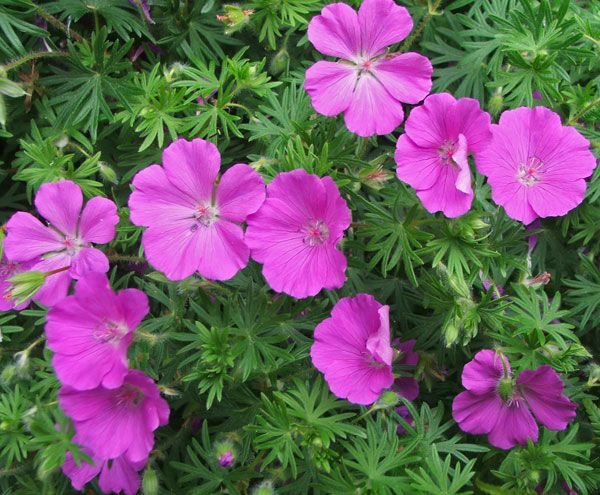 Little Lilac Geraniums - I have these.  It's a hardy spreading plant.  It is prone to rust problems if not in direct sun.  Recovers well if damaged leaves are cut back regularly.