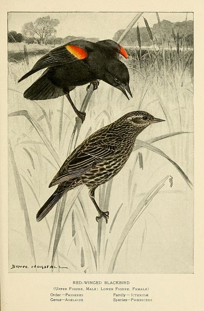 Red-winged Blackbird pair- this is one of my favorite birds- they are so bossy as I work in my yard!