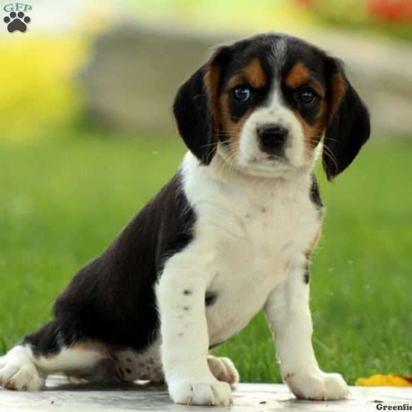 Ellen is a sweet Beaglier puppy with the cutest face. This lovable pup is vet checked, up to date on shots and wormer, plus comes with a health guarantee provided by the breeder. To find out more about Ellen, please contact Amanda today!