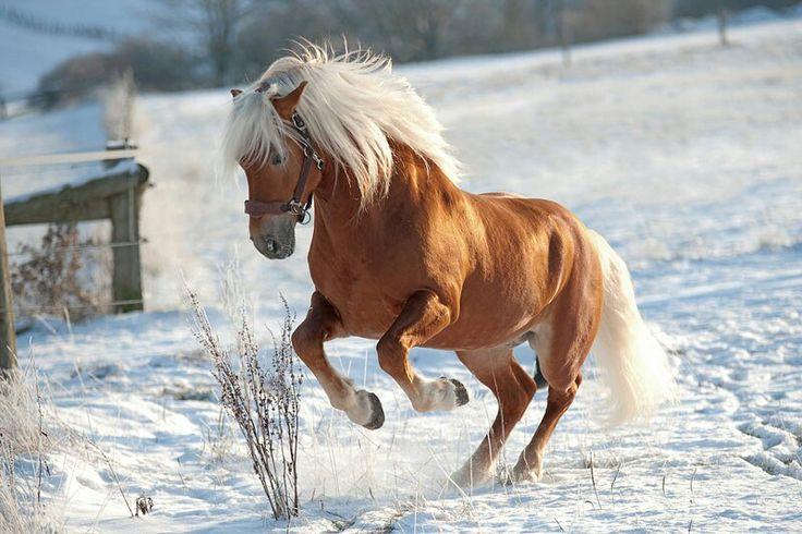 220 besten pferde im schnee bilder auf pinterest   pferde