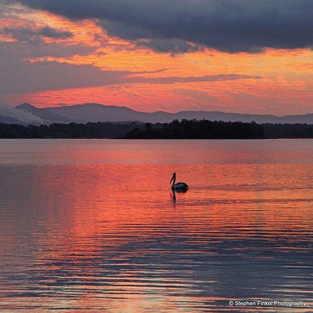 One of the locals enjoying the sunset Lake Samsonvale Qld #canonaustralia #canoncollective #canoncamera #wow_australia #visitbrisbane #visitmoretonbay #samsonvale #lakesamsonvalesunset #stephenfinkelphotography #whatdoyousee #capturelife #sunset #sunsets