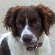 American Brittany Rescue :: Pippa (Texas) Pippa was one of 103 Britts seized from a breeder in Louisiana.