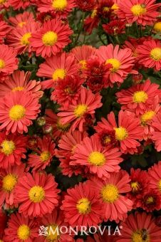 Monrovia's Mammoth™ Red Daisy Garden Mum details and information. Learn more about Monrovia plants and best practices for best possible plant performance.