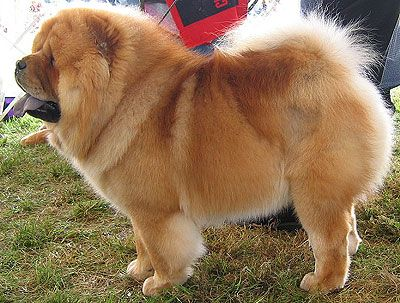 chow chow long haired- nonsporting dog breeds from the online dog encyclopedia -