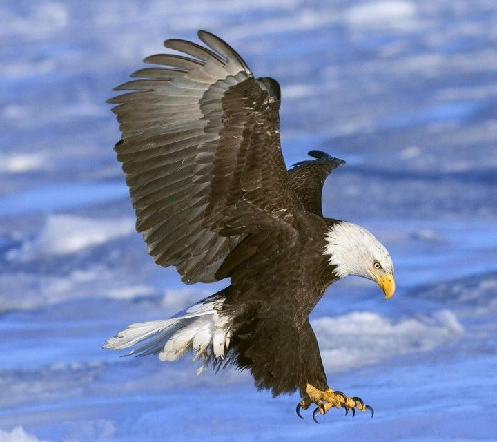 Bald Eagle In Flight Alaska HD Desktop Wallpaper Widescreen
