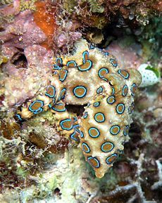 Blue-ringed octopus - three (or perhaps four) octopus species that live in tide pools and coral reefs in the Pacific and Indian Oceans, from Japan to Australia (mainly around southern New South Wales and South Australia). They are recognized as one of the world's most venomous marine animals